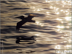 Vuelo rasante (Nufus) Tags: olympus omdem1 microed40150 mar ave pelícano destellos reflejo vuelo agua calma