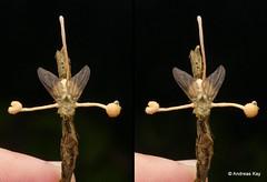 Fly with Entomopathogenic fungus, Ophiocordyceps dipterigena (Ecuador Megadiverso) Tags: andreaskay diptera ecuador entomopathogenicfungus fly mindo ophiocordycepsdipterigena rainforest stereogram tropic