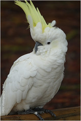 Sulphur Crested Cockatoo (kerbside) Tags: cockatoo sulphur crested bird australianbird white