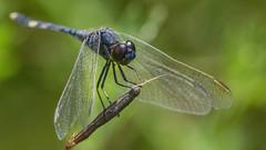 Erythrodiplax nigricans 2019.02.12_01 (carmen chase) Tags: argentina argentine fotomacrografía photomacrography macrofotografía macrophotography action acción macro insect insecto animalia hexapoda insecta pterygota palaeoptera odonata anisoptera libellulidae sympetrinae erythrodiplax nigricans dragonfly dragonflies libélula a7riii ilce7rm3 sony telemacro canon 500d lente lentilla de aproximación 2 dioptría dioptre close up lens recs scan escán