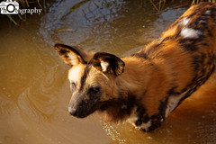 African Painted Dog 2 (Mike House Photography) Tags: african painted dog africa hunting wild wolf cape canid subsahara sahara subsaharan endangered species conservation zoo park chester cheshire safari animal animals mammals mammal black orange white ears snout whiskers water waterside edge