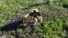 Bionicle M.O.C. - Mukau Herd (Makuta Alvarez) Tags: lego bionicle moc cow steer bull rahi mukau herd group toa combo toy
