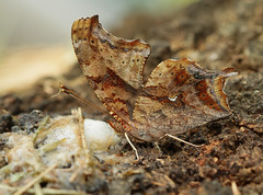 Question Mark sipping suds (cotinis) Tags: insect lepidoptera butterfly nymphalidae nymphalinae polygonia polygoniainterrogationis questionmark northcarolina piedmont canonef100mmf28macrousm bmna nc may inaturalist