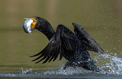 Double crested cormorant (Thy Photography) Tags: rainbowtrout trout sunrise sunset bird photography nature backyard cormorant california animal wildlife doublecrestedcormorant