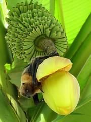 Roussette au régime (Raymonde Contensous) Tags: broméliacées roussette chauvesouris animal régimedebananes bananier parczoologiquedeparis zoodevincennes grandeserredupzp serretropicale plantes nature