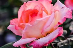 Rosa (ameliapardo) Tags: rosas flores jardines airelibre naturaleza macro macrodeflores floresyplantas fujixt2 leica60macromanual