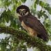 Spectacled Owl, Pulsatrix perspicillata Ascanio_Amazon Cruise 199A9337