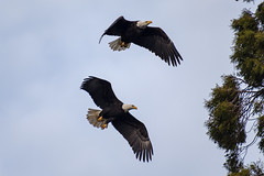 Bald Eagles (zfwaviation) Tags: bald eagle bird birds aviary avian flying pair nesting oregon willamette valley tangent