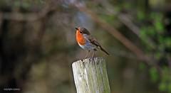 Robin J78A0159 (M0JRA) Tags: robins birds humber ponds lakes people trees fields walks farms traylers