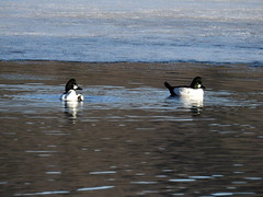 Common Goldeneye (RonG58) Tags: commongoldeneye wilsonpond northmonmouth duck bird birds loiseau elpájaro tori dervogel birding birdwalk fauna flora habitat migration natureexploration wildlife waterbirds breedingplumage maine rong58 new usa images pictures photooftheday day image color photography photo photos us light trip nikon picture digitalcamera picoftheday photograph live geotagged nature naturephotography travel exploration spring