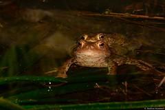 Erdkrötenhochzeit im Gartenteich (Andrea Kammer) Tags: naturfotografie tier amphibie kröte erdkröte erdkrötenhochzeit