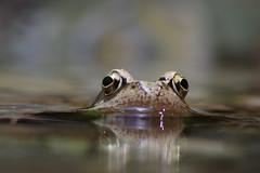 Grasfrosch (Aah-Yeah) Tags: grasfrosch frosch froschlurch froschlurche rana temporaria grassau achental chiemgau bayern