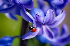 Hi! (semenov729) Tags: macro flover ladybug macrounlimited
