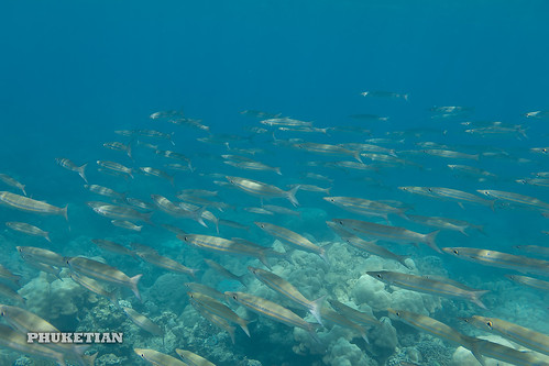 Barracudas. Underwater photos from Surin Islands, Thailand