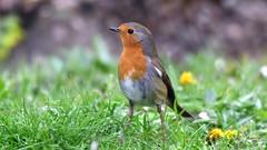 DSC_9919 Rouge-gorge sous la pluie (sylvette.T) Tags: animal oiseau bird 2019 pluie rougegorge robin nature