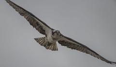 Sometimes, things just go right! (woodwindfarm) Tags: osprey bif bird flight sundaylights