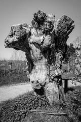 Old tree stump (Thierry GASSELIN) Tags: d7100 monochrome tree arbre stump souche nb bw
