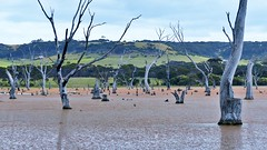 Baumfriedhof am Emu Bay (Sanseira) Tags: australien australia kangaroo island baumstümpfe see wasser emu bay