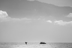 Hello, again (brerwolfe) Tags: closeencounter hawaii hawaiianislands humpback humpbackwhale maui ocean pacificocean pacificwhalefoundation whale whaletail whalewatching