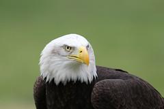 IMG_1455 (Stefan Kusinski) Tags: hemsley duncombe ncbp birdofprey
