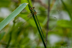 Libellule (musette thierry) Tags: libellule animaux animalier insecte volant petit macro été nikon tameron 90mm28