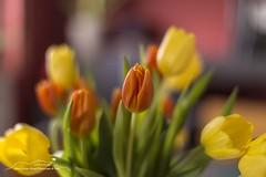 Tulpen (Bianchista) Tags: 2019 bianchista blumen bokeh januar tulpen winter tulpe flower flowers