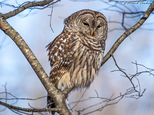"""Barred Owl (Lifer) • <a style=""""font-size:0.8em;"""" href=""""http://www.flickr.com/photos/59465790@N04/33013100298/"""" target=""""_blank"""">View on Flickr</a>"""