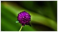 """Beauty is a light in the heart.""_Khalil Gibran. (Ramalakshmi Rajan) Tags: gomphrenaglobosapurple globeamarnath flowers flower quotes nikkor70300mm nikond750 nikon inmygarden"