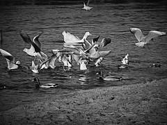 Por un puñado de pan (Luicabe) Tags: oca luicabe gaviota yarat1 animal monocromático río enazamorado luis gris ala agua ave paisaje pato zamora orilla blancoynegro exterior airelibre naturaleza ngc zoom duero