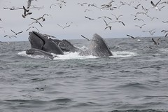 A Whale of a Day (gibbsbrian) Tags: mosslanding whalewatching california montereybay whales pacificocean pacific