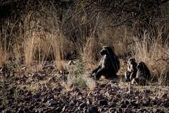 Baboons in the morning (HansenBenHansen) Tags: africa afrika namibia mountetjo pavian bärenpavian sony sonyalpha7ii sonya7ii a7ii a7 alpha7ii alpha7 sony⍺7markii ⍺7ii ⍺7 sony⍺7 baboon sonyalpha7 ilce7 emount fullframe tamron150600 7ii ⍺7markii ilce7ii sony⍺7ii animals tiere wildlife nature natur ilce vollformat sigmamountconvertermc11 canonefsonyemount hanks