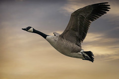 Canada Goose (cazalegg) Tags: ngc goose canada nikon wildlife nature wwt caerlaverock dumfriesshire galloway scotland sunset sky bird migrant 200500mm