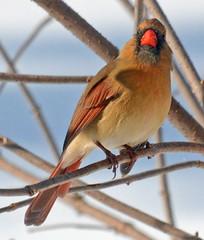 Female Cardinal with attitude (ctberney) Tags: northerncardinal cardinaliscardinalis female winter bird backyard ontario canada nature