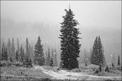 (bpark_42) Tags: sony a7r2 colorado snow storm mountains trees forest pine blackandwhite bw zeiss loxia 50mm 502