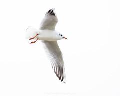 _DSC5359 (nigelsnell) Tags: countydown kinnegar northernireland bird birds flight gulls highkey holywood white