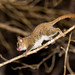 Grey Mouse-Lemur (Microcebus murinus) 2