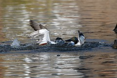 Northern shovelers squabbling (adirondack_native) Tags: northern shoveler duck waterfowl water splashing green white drake