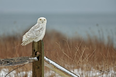 Sitting and Posing (steve.tocci) Tags: snowyowl sachuestwildliferefuge middletownri newportri undaunted yelloweyes beach tundra ocean owl