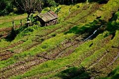 INDONESIEN, Bali ,unterwegs nach Klungkung (Reisterrassen) 18026/11263 (roba66) Tags: bali urlaub reisen travel explore voyages rundreise visit tourism roba66 asien asia indonesien indonesia insel island île insulaire isla reisterrassen rice ricefields reis green grün landschaft landscape paisaje nature natur naturalezza