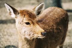 Fox Deer (GingerKimchi) Tags: nara osaka japan travel nature asia film 35mm fujifilm canon deer canona1 2019 spring february march
