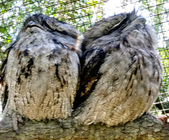 Pair Frog Mouth (Owl like) - 20190125_125951_1552228446030~2 (mshnaya ☺) Tags: bird fowl flickr photo compact camera point shoot owl noctornal raptor fauna australia frog mouth