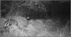 Badgers on the run 03110097 (dark-dave) Tags: badgers scotland scottishborders wildlife bushnell trailcam