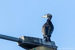 aalscholver (Hetwie) Tags: phalacrocoraxcarbo aalscholver vogels brouwhuis birds greatcormorant helmond noordbrabant nederland nl