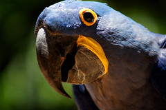 Inquisitive Blue Macaw (peter_a_hopwood) Tags: blue macaw foz brazil iguacu sony a99 december