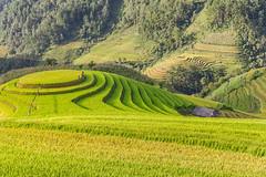 _Y2U2685.0918.La Pán Tẩn.Mù Cang Chải.Yên Bái (hoanglongphoto) Tags: asia asian vietnam northvietnam northwestvietnam landscape scenery vietnamlandscape vietnamscenery mucangchailandscape terraces terracedfields sunlight hill curve abstract house home people hillside sunnyweather canon tâybắc yênbái mùcangchải lapántẩn mâmxôilapántẩn phongcảnh ruộngbậcthang lúachín mùagặt morning sunnymorning nắng buổisáng nắngsớm ngọnđồi sườnđồi đườngcong trừutượng ngôinhà người phongcảnhcóngười seasonharvest mùcangchảimùalúachín mùcangchảimùagặt northernvietnam landscapeandpeople canoneos1dx canonef2470mmf28liiusm