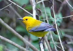 Prothonotary Warbler (Ed Sivon) Tags: america canon nature wildlife wild western southwest flickr bird texas yellow black