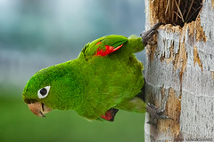 Perico de La Española (juan.sangiovanni) Tags: arinae arini aves chloropterus perico psittacara psittacidae psittaciformes endemic psittacarachloropterus