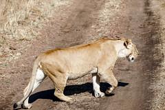 Maasai Mara, Kenya (Ninara31) Tags: maasaimara mara masai kenya wildlife safari lion elephant pantheraleo africa