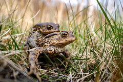Bufo bufo (The common toad) (ValdemarJoergensen) Tags: bufo the common toad