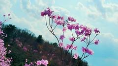 April 11, 2019 (Katsujiro Maekawa) Tags: seorak gapyeong korea 4seasons earth nature sky 설악 가평 한국 사계절 지구 자연 하늘 스마트폰 雪岳 加平 韓国 風景 四季 地球 自然 空 スマホ light 光 빛 heavenlyparents trueparents ngc flower 꽃 花 blue bluesky skyinflower 파란하늘 青空 pinkflower 핑크 ピンク 진달래 チンダルレ カラムラサキツツジ 韓半島 한반도 koreanrhododendron underthesky holyground spring 봄 봄날 春 孝情天苑 효정천원 hyojeongcheonwon lovely peaceful happiness blessing cloud 그름 雲 art mountain 산 山 山紫水明 風光明媚 山川草木 花鳥風月 고향의봄 ffwpu wind 바람